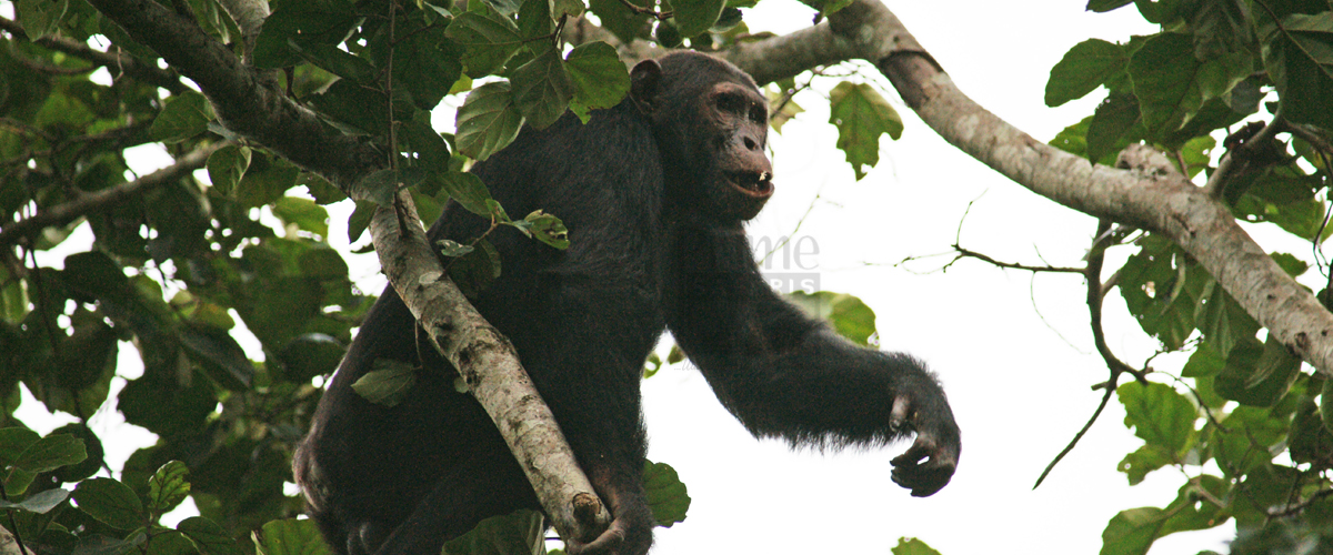 Chimpanzee Safaris Congo