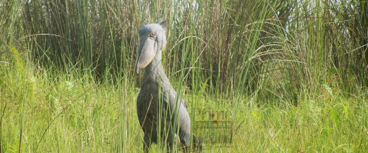 Uganda Birding Safaris Tour