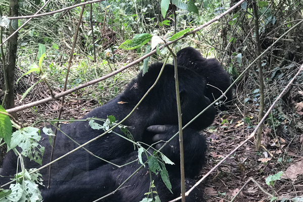 3 Days Congo Mountain Gorilla Trekking Safari