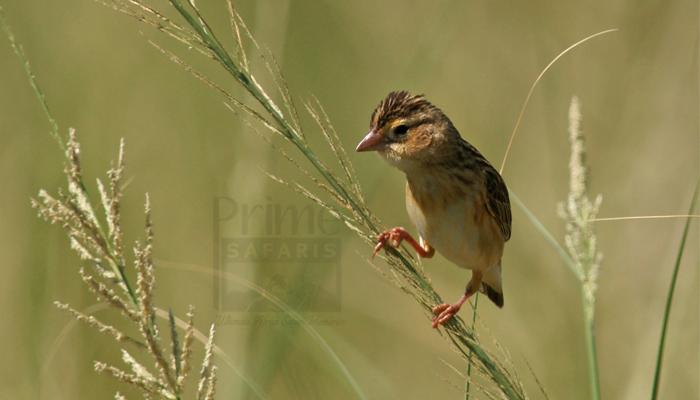 Uganda Birding Safaris Tours