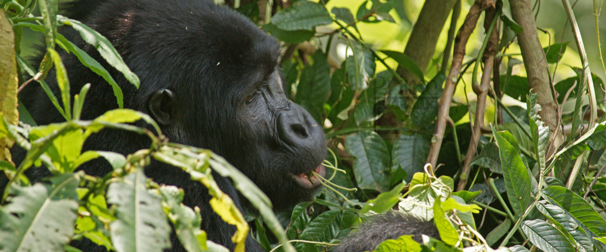 How to do Gorilla Trekking