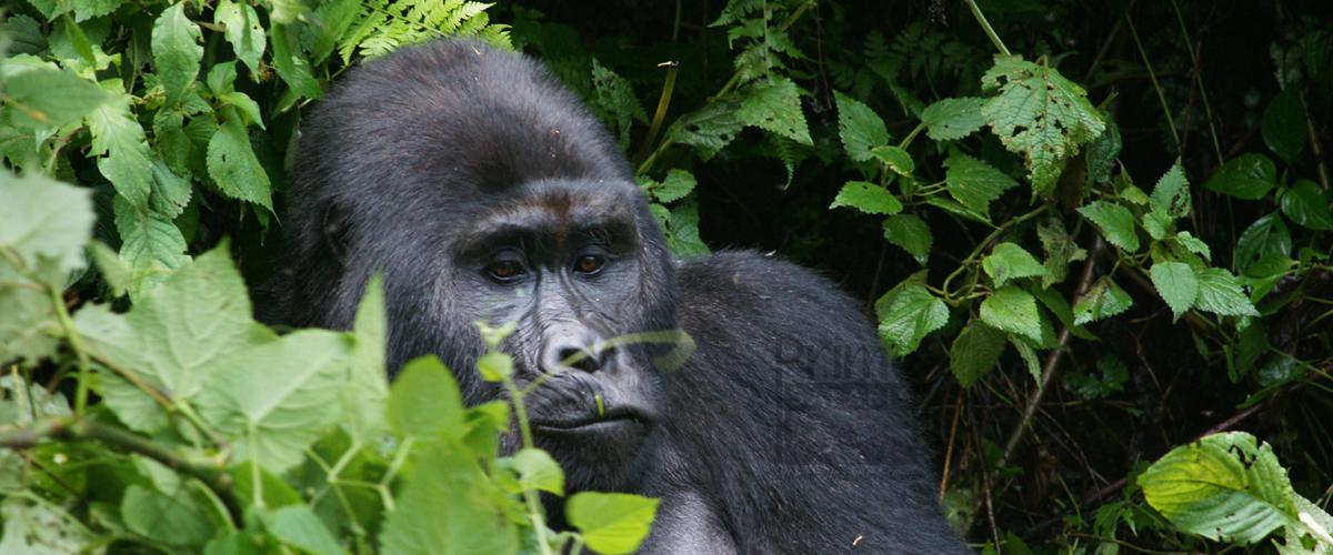Gorilla Trekking Kahuzi Beiga National Park