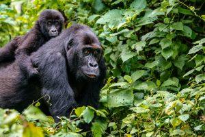 gorilla-trekking-kahuzi
