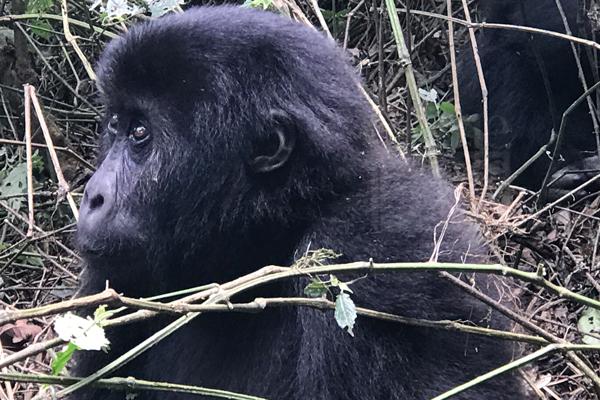 3 Days Gorilla Trekking Tour in DR Congo