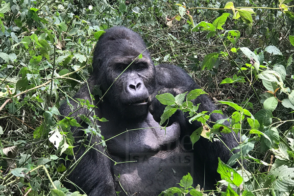 5 Days Congo Lowland Gorilla Trekking Tours