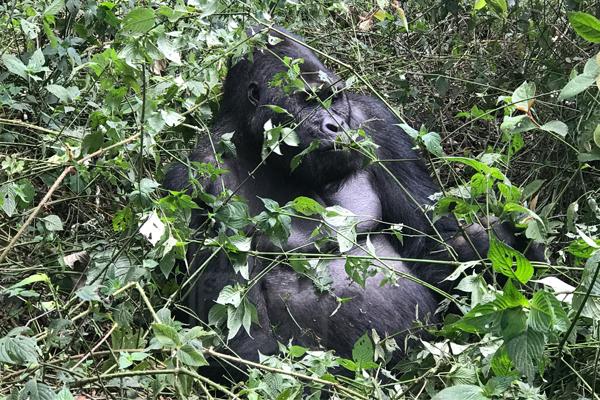 6 Days Congo Mountain Gorilla Trekking and Volcano Climbing Safari
